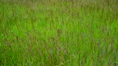 風 : Green meadow with wild grass in summer