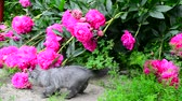 cheirando : Kitten walks in grass near peony