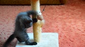 videospiel : gray kitten playing with scratching post and toys. age 2 months