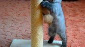 videospiel : gray kitten playing with scratching post and toys. 2 months