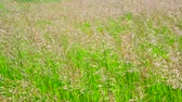 fodder : Perennial tall grass rump in wind