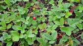 aardbeien : Glade of wild strawberry with ripe berries