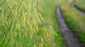 капля : Wild oats wet from rain, near the dirt road