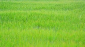 gerinc : Young green rye field in June. Russia