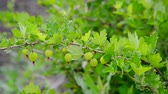 groselha : Branch with ripe gooseberry swings in wind Stock Footage