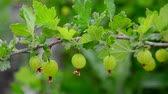 uva spina : Branch with ripe gooseberry swings in wind Filmati Stock