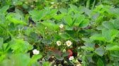 fragaria : Blossoming strawberry with green berries Stock Footage