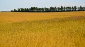 tüske : ripe wheat field in August. Russia Stock mozgókép