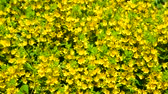 los : Lysimachia vulgaris swaying in the wind