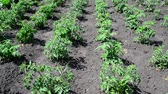 germogli : Beds of young shoots of tomato