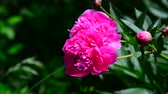 капля : Large pink peony flower on flowerbed