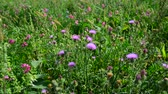 rod : Blooming thistle waving in wind