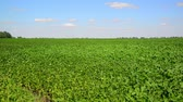 kidney beans : Green bean field on sunny day Stock Footage