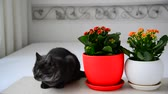 töpfchen : Gray young cat sitting next to potted flowers Videos