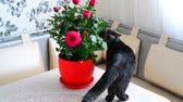 töpfchen : Gray young cat walks about potted flowers