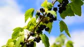 amoras : Branch of black currant with ripe berries in wind Vídeos