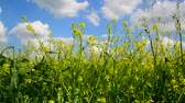 rakete : Flowering Yellow Barbarea vulgaris in wind against beautiful sky Videos