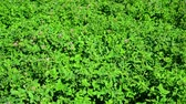 fodder : Field of green flowering clover