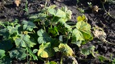 germogli : Yellowed leaves of cucumbers from drought