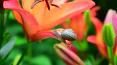 mollusk : small snail crawls along beautiful large lilies Stock Footage