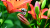 тычинка : small snail crawls along beautiful large lilies Стоковые видеозаписи