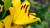 Лилли : beautiful yellow lily with large stamens