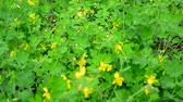 тычинка : Yellow flowering celandine in rain drops Стоковые видеозаписи