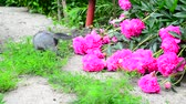 пион : Gray kitten walks along the grass next to pink pion. Стоковые видеозаписи