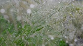 na : Wild oats in droplets of water after rain in summer