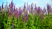 花序 : Salvia Superba close-up on meadow