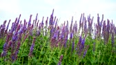 officinalis : Salvia Superba close-up on meadow