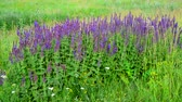 officinalis : Salvia Superba close-up on meadow in summertime