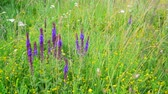 officinalis : wild meadow with Salvia Superba flowers in summertime