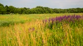 officinalis : Wild meadow with Salvia Superba flowers in sunset