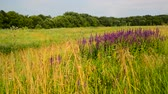 花序 : Wild meadow with Salvia Superba flowers in sunset