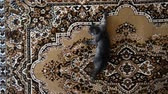 funny cat : kitten descends on carpet hanging on wall