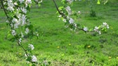 花序 : Branches of blossoming apple tree 動画素材