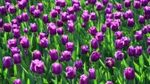 밝게 : There are many lilac tulips in flowerbed