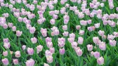 есть : There are many pink tulips in flowerbed Стоковые видеозаписи