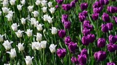 gradiens : There are many lilac and white tulips in flowerbed