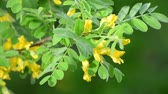 akác : Caragana arborescens or yellow acacia Stock mozgókép