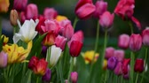 Клумба : Tulips of different colors and gardens in flowerbed