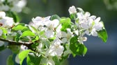 花序 : branch of blossoming apple tree In the garden