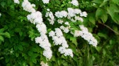 花序 : Sprig bush with white flowers in spring