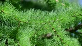フリンジ : Needles of young larch in spring close-up 動画素材