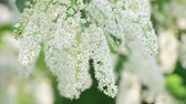 花序 : Branches of blooming bird cherry tree with white flowers