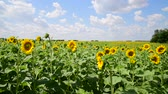 sunflower field : Beautiful Fields with blooming sunflowers Stock Footage