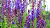 花序 : Salvia Superba close-up in summertime 動画素材