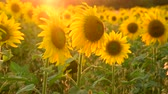 sunflower field : Field with sunflower In rays of setting sun Stock Footage