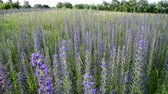 officinalis : beautiful meadow with blooming Salvia Superba